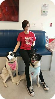 Border Collie/Border Collie Mix Dog for adoption in Miami Shores, Florida - Willow