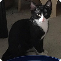 Domestic Shorthair Kitten for adoption in Huntley, Illinois - Tag Along
