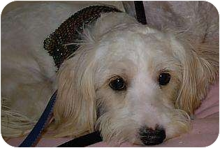 Terrier (Unknown Type, Small)/Poodle (Miniature) Mix Dog for adoption in Lucerne Valley, California - 2 little white dogs