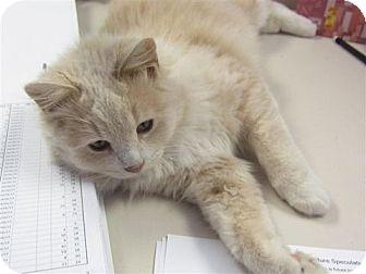 Maine Coon Kitten for adoption in Davis, California - Toaster
