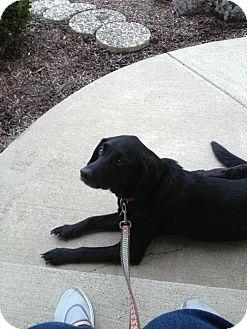 Labrador Retriever Mix Dog for adoption in Youngstown, Ohio - Ace
