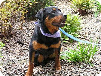 Rottweiler Dog for adoption in Rigaud, Quebec - Thor