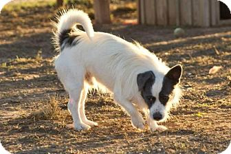 Terrier (Unknown Type, Small) Mix Dog for adoption in Post, Texas - Chris