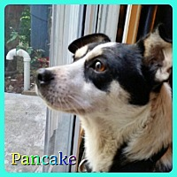 Rat Terrier Mix Dog for adoption in Hollywood, Florida - Pancake