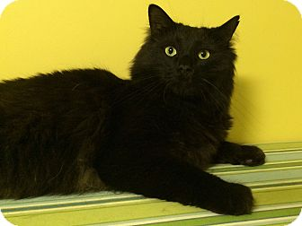Domestic Longhair Cat for adoption in Medway, Massachusetts - Angus