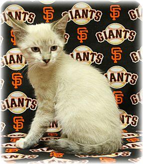 Siamese Kitten for adoption in Tracy, California - Giorgio