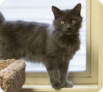 Domestic Mediumhair Cat for adoption in Fremont, Nebraska - Husker