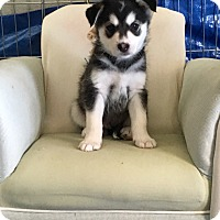 Adopt A Pet :: Nanook - Encino, CA