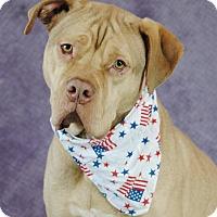 Dogue de Bordeaux Mix Dog for adoption in Plainfield, Connecticut - Leonidas