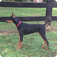 Adopt A Pet :: Jilly - Arlington, VA