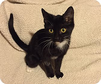 Domestic Shorthair Kitten for adoption in Woodstock, Ontario - RJ