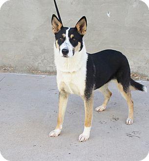 Shepherd (Unknown Type)/Husky Mix Dog for adoption in Odessa, Texas - A29 Kelly