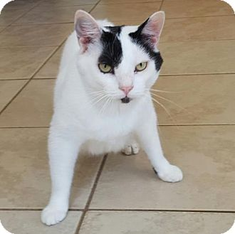 Domestic Shorthair Cat for adoption in Staley, North Carolina - Snowball