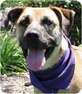 Boxer/Shepherd (Unknown Type) Mix Dog for adoption in Encinitas, California - Misty