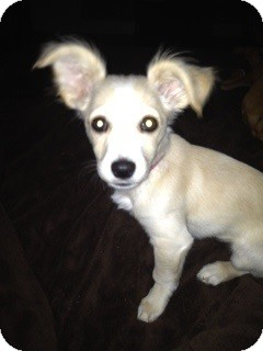 Chihuahua/Pomeranian Mix Puppy for adoption in Alpharetta, Georgia - Chloe