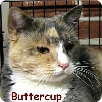 Adopt A Pet :: Buttercup - Plainville, MA