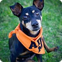 Miniature Pinscher Dog for adoption in Rancho Santa Fe, California - Maisie
