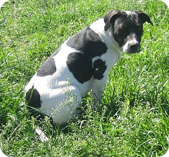 Staffordshire Bull Terrier/American Bulldog Mix Dog for adoption in Copperas Cove, Texas - Apple