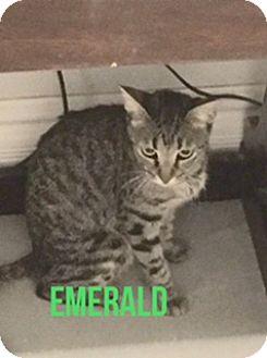 Domestic Shorthair Cat for adoption in Glendale, Arizona - Emerald