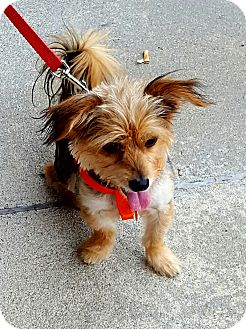 Yorkie, Yorkshire Terrier Mix Dog for adoption in Jacksonville, North Carolina - Jiminy Cricket