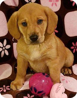 Golden Retriever Mix Puppy for adoption in Newark, Delaware - Sandy