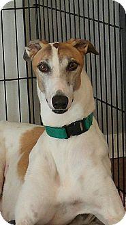 Greyhound Dog for adoption in Brandon, Florida - Don Henley