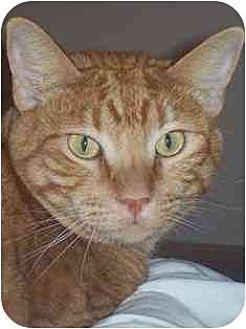 American Shorthair Cat for adoption in Elk Grove, California - Wally
