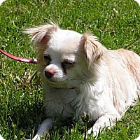 Adopt A Pet :: Lacey - Rigaud, QC