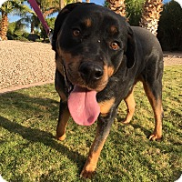 Adopt A Pet :: Oz - Gilbert, AZ