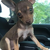 Adopt A Pet :: Joop - AUSTIN, TX