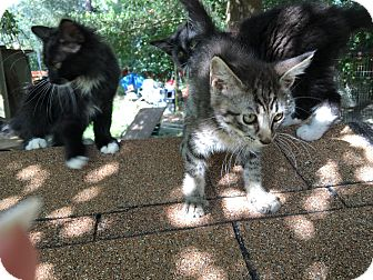 Domestic Shorthair Kitten for adoption in Panama City, Florida - Bruce