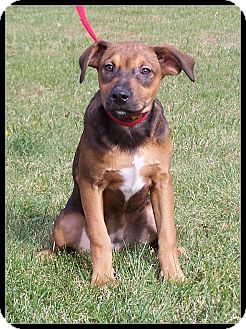 Shepherd (Unknown Type)/Boxer Mix Puppy for adoption in Milford, New Jersey - Fannie