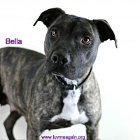 American Staffordshire Terrier Mix Dog for adoption in Bloomington, Minnesota - Bella
