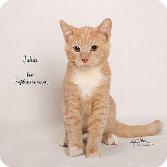 Domestic Shorthair Kitten for adoption in Riverside, California - Julius