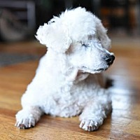 Poodle (Miniature) Dog for adoption in Eden Prairie, Minnesota - Benedict *Blind* D161502
