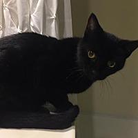Adopt A Pet :: WV-Maurice 'Rici' (CP) - Lambertville, MI