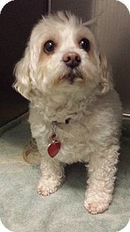 Maltese/Poodle (Miniature) Mix Dog for adoption in Westminster, California - Fruit Cake