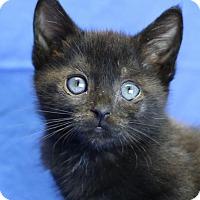 Adopt A Pet :: Viola - Winston-Salem, NC