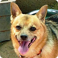 Australian Cattle Dog/German Shepherd Dog Mix Dog for adoption in Las Cruces, New Mexico - Tray