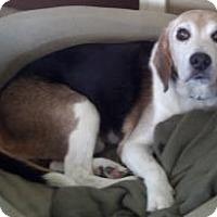 Adopt A Pet :: Norbert - Phoenix, AZ
