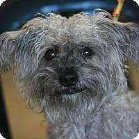 Adopt A Pet :: Toby-Yorkipoo! - Canoga Park, CA