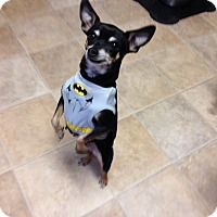 Adopt A Pet :: Arela - Fort Collins, CO