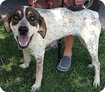 Redtick Coonhound Mix Dog for adoption in Cincinnati, Ohio - Scarlett
