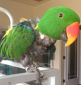 Eclectus for adoption in Burleson, Texas - Harley