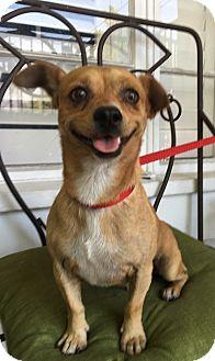 Pug/Dachshund Mix Dog for adoption in Santa Ana, California - Winston (BH)