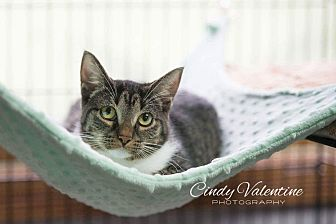 Domestic Shorthair Cat for adoption in Holland, Michigan - Hops