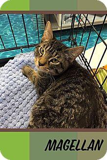 Domestic Shorthair Kitten for adoption in Mansfield, Texas - Magellan