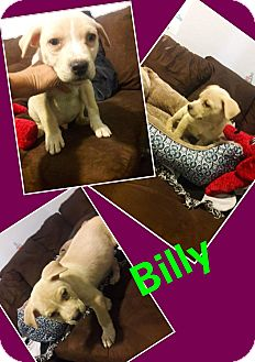 German Shepherd Dog/Retriever (Unknown Type) Mix Puppy for adoption in LAKEWOOD, California - Billy