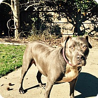 American Pit Bull Terrier Mix Dog for adoption in Lincoln, California - Sushi