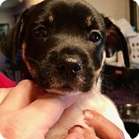 Adopt A Pet :: JuJuBe - ST LOUIS, MO